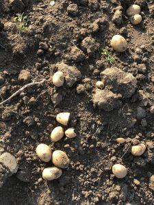 podrobný návod na kváskový chlieb so zemiakmi nájdete na chutodnaty.sk