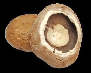 hríb portobello